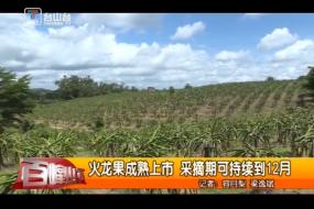 火龙果成熟上市 采摘期可持续到12月