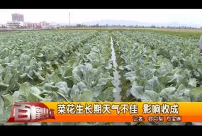菜花生长期天气不佳 影响收成