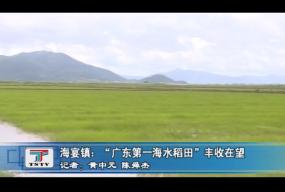 """海宴镇:""""广东第一海水稻田""""丰收在望"""