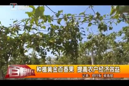 种植黄金百香果 提高农户经济效益