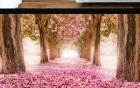 中国樱花惊艳全世界,共超过70万株名贵樱花树,而且免费不用门票