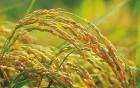 粮食丰收!江门早稻预计总产量45.47万吨
