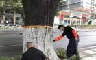 """蓬江环卫志愿者为道路树木""""换冬装"""""""
