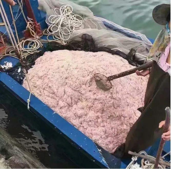 台山虾酱原料——苗虾(川岛镇人民政府供图)