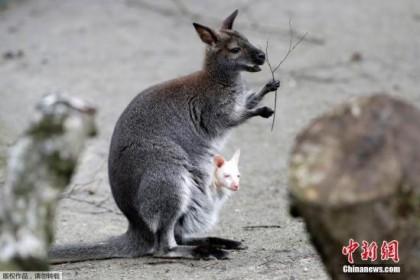 干旱致袋鼠进城觅食 澳维多利亚州两居民相继遇袭