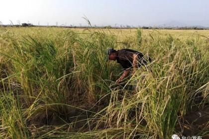 广东首个盐碱地上垦造水田项目种植海水稻喜获丰收
