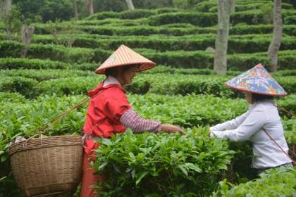 台山白云茶市场潜力大