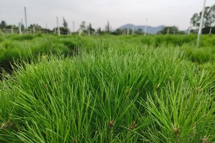 红岭种子园:科研攻关50多年 松树成材加快10年