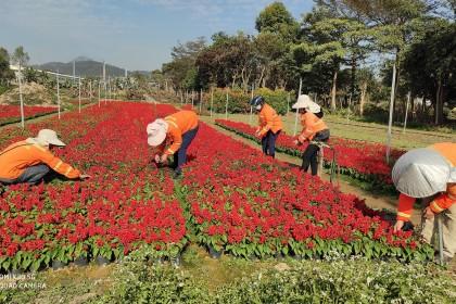 15万盆鲜花为台城新春增艳添绿