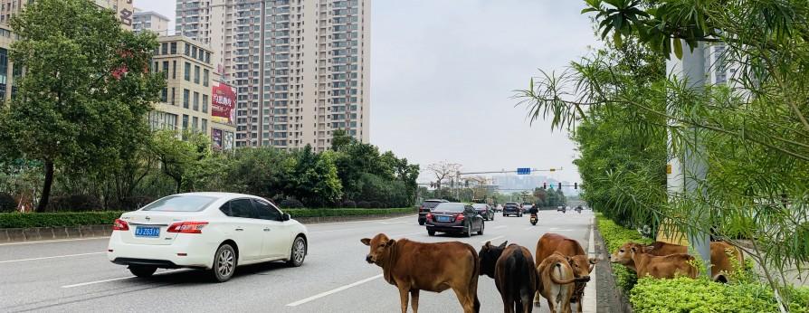 """牛群""""冇王管"""" 擅自进城影响交通"""