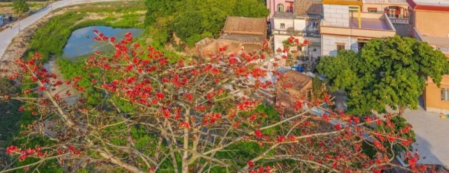 格桑花、禾雀花盛放 黄沙蚬上市 这才是江门春天的味道!