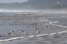 台山上川岛惊现珍稀候鸟