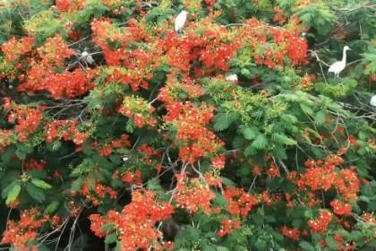 凤凰花开美 白鹭栖息地